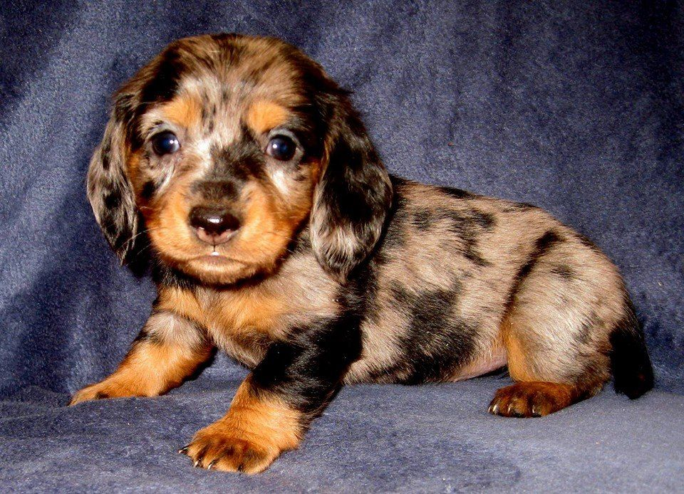 dapple doxie pup!
