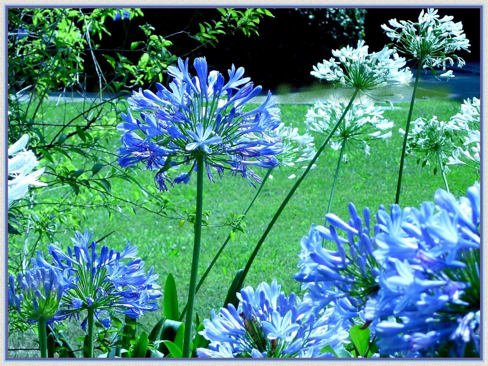 Fleur agapanthe agapanthe chagall
