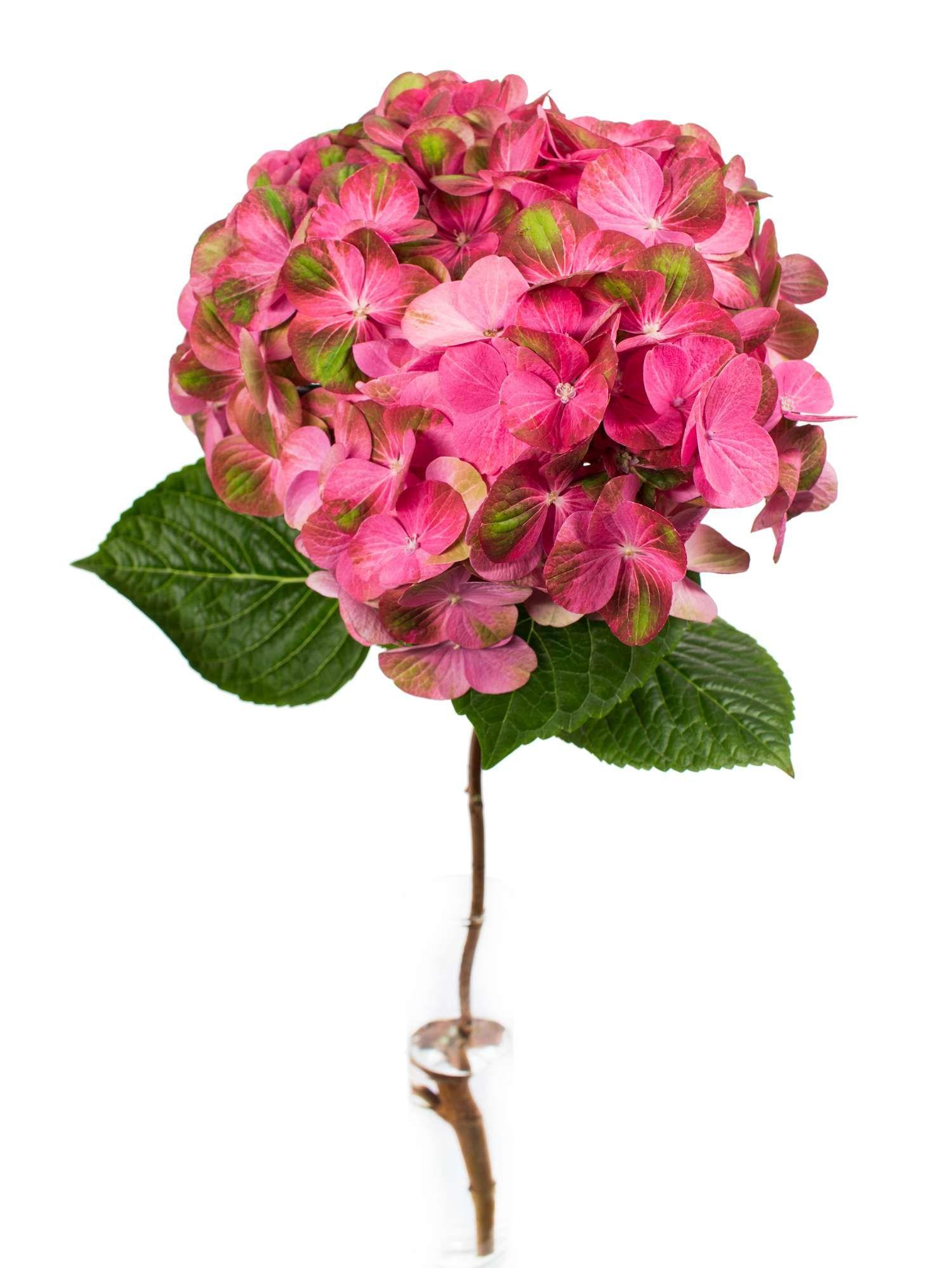 Hortensie Greenfire pinkgrn  Hortensie
