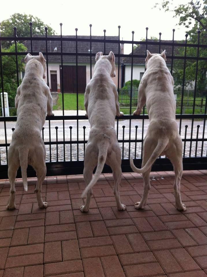 Gardiens Dog Argentino Argentinian Dog Large Dog Breeds