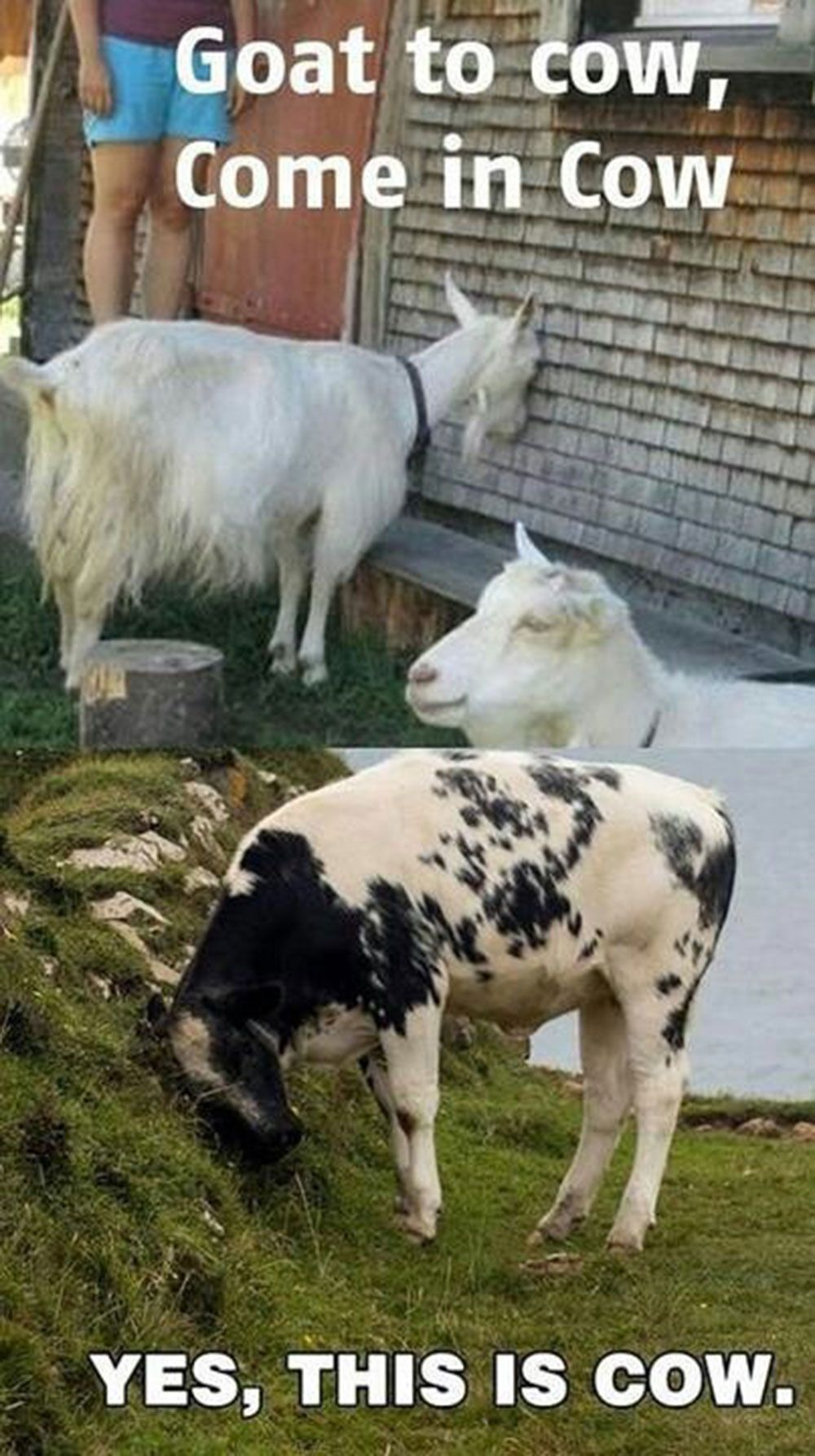 Funny Farm Animals Meme : We love cow humour stanpacnet dairy goat