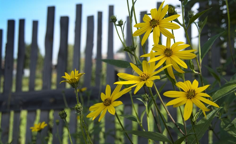 topinambur selbst anbauen sonnenblumen g rten und pflanzen. Black Bedroom Furniture Sets. Home Design Ideas
