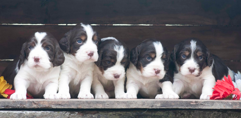 Northern Lights Kennel Springer Puppies English Springer Spaniel Puppy Springer Spaniel Puppies