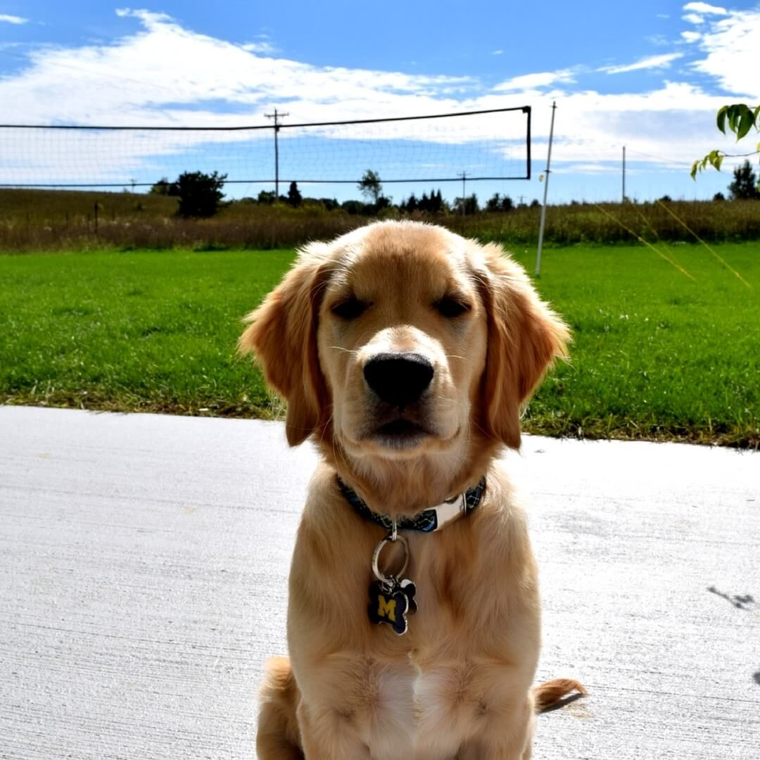 15 Reasons Golden Retrievers Are Your Best Friends Cute Dog