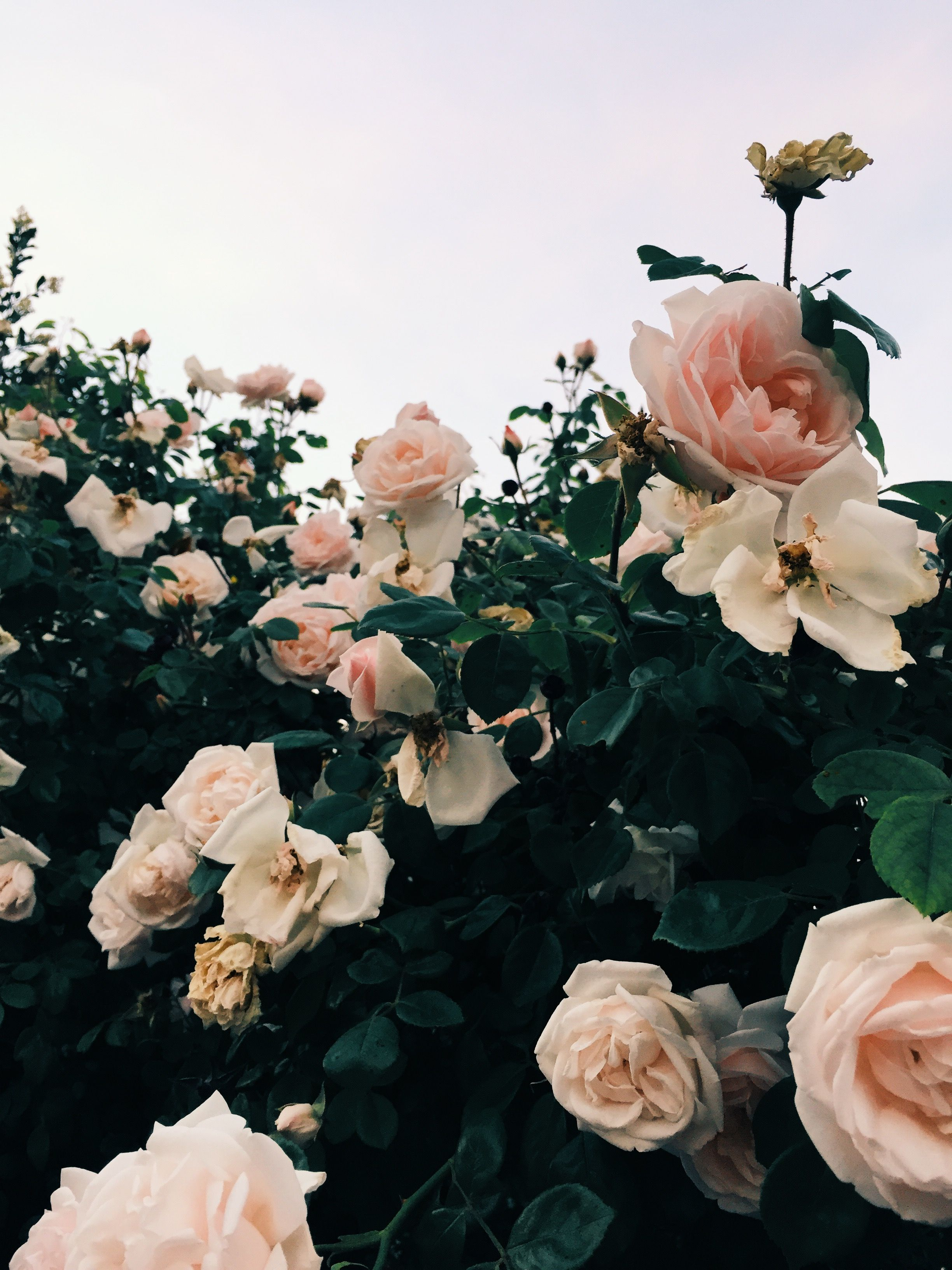 follow me on Insta // pink roses, garden
