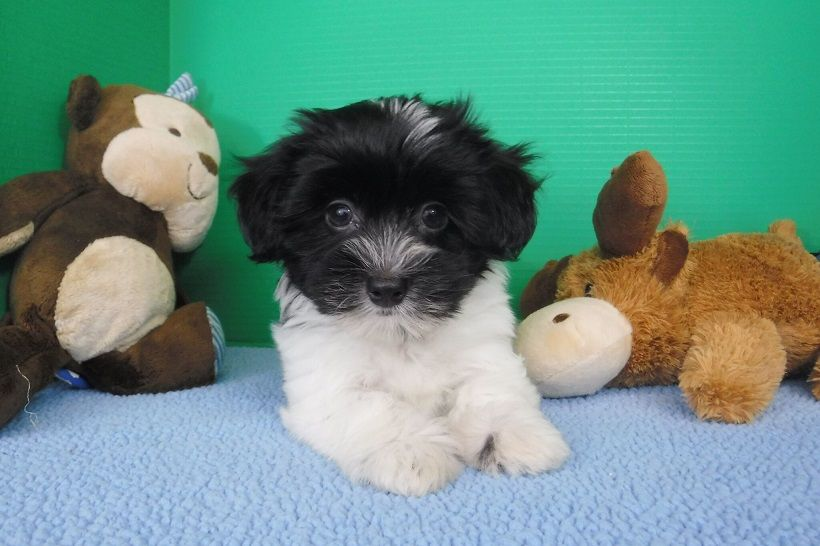 This Just In This Incredible Black And White Puppy Is Available Now To Take Home Do You Know Someone Who May Be Interested Havaneser Schwarz Schwarz Weiss