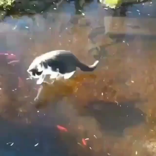 "Adorable Cat Try Catch A Fish ""So Close Yet So Far Away!"""