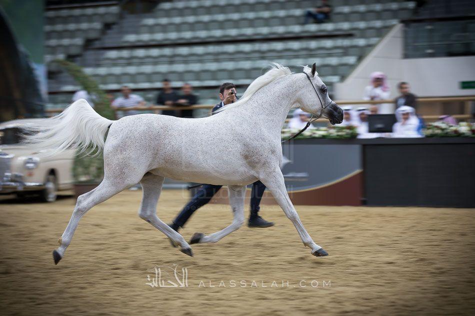 تهامة بلالينا تحرز أعلى درجة في البطولة في ثاني أيام قطر الدولية الـ26 لجمال الخيل العربية نتائج الفئات Arabian Horse Horses Arabians