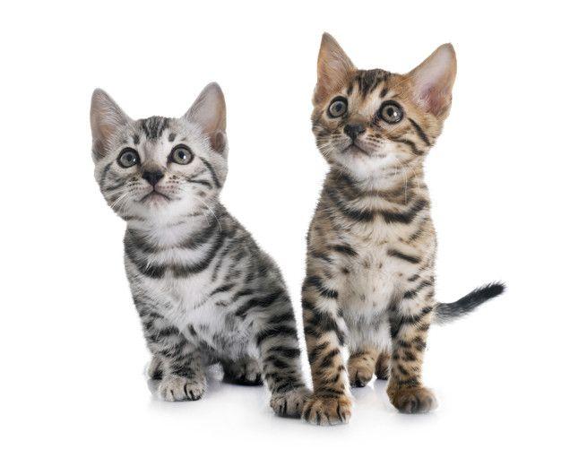 Gatinho De Bengala Isolado In 2020 Bengal Cat Rescue Cats Bengal Kitten