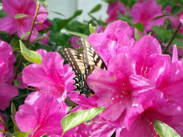 Another pretty butterfly