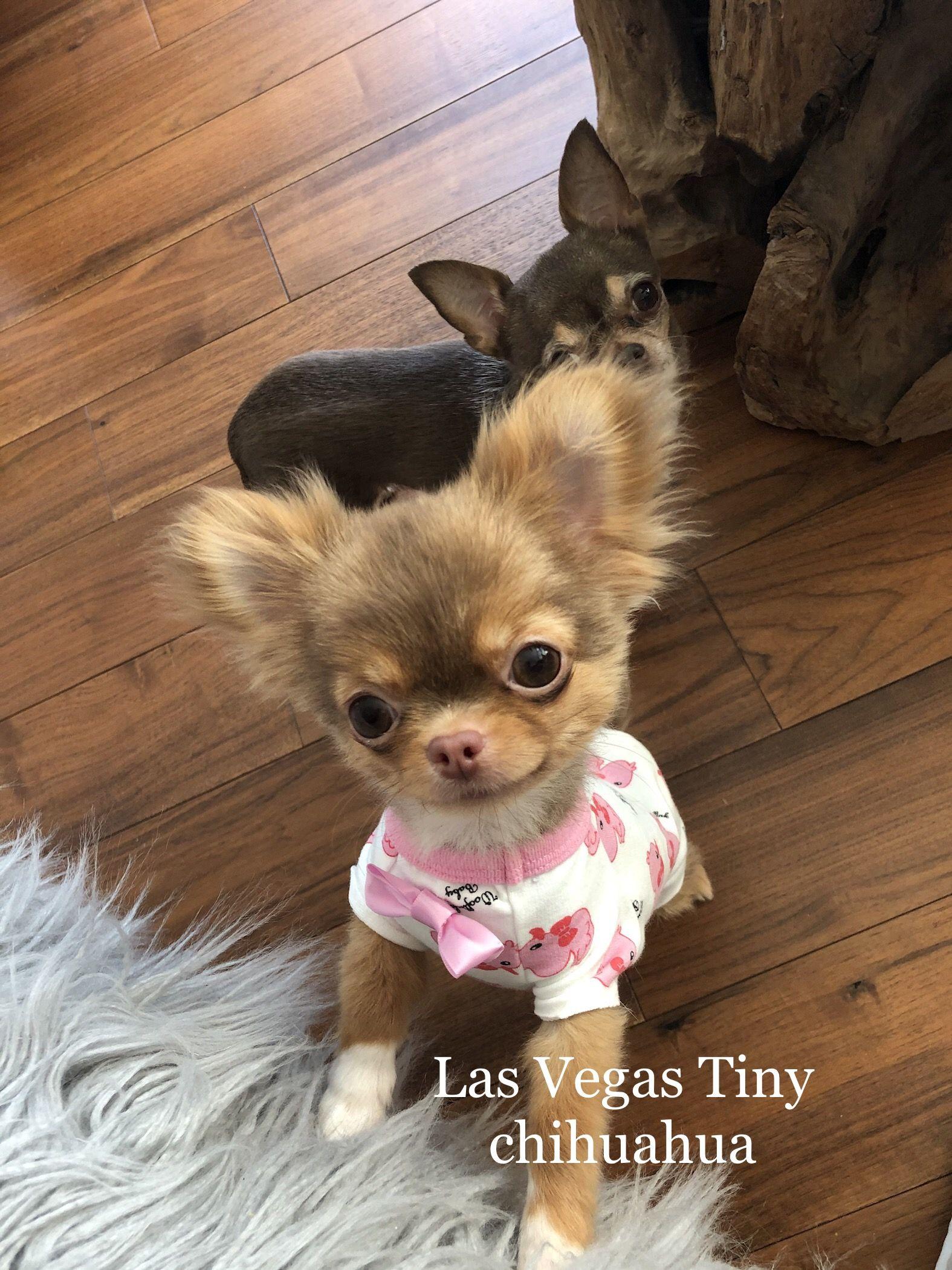 Tiny Corra In 2020 Cute Chihuahua Chihuahua Puppies Chihuahua