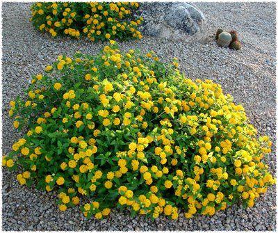 Photo Lantana New Gold Lantana Arizona Plants Plants