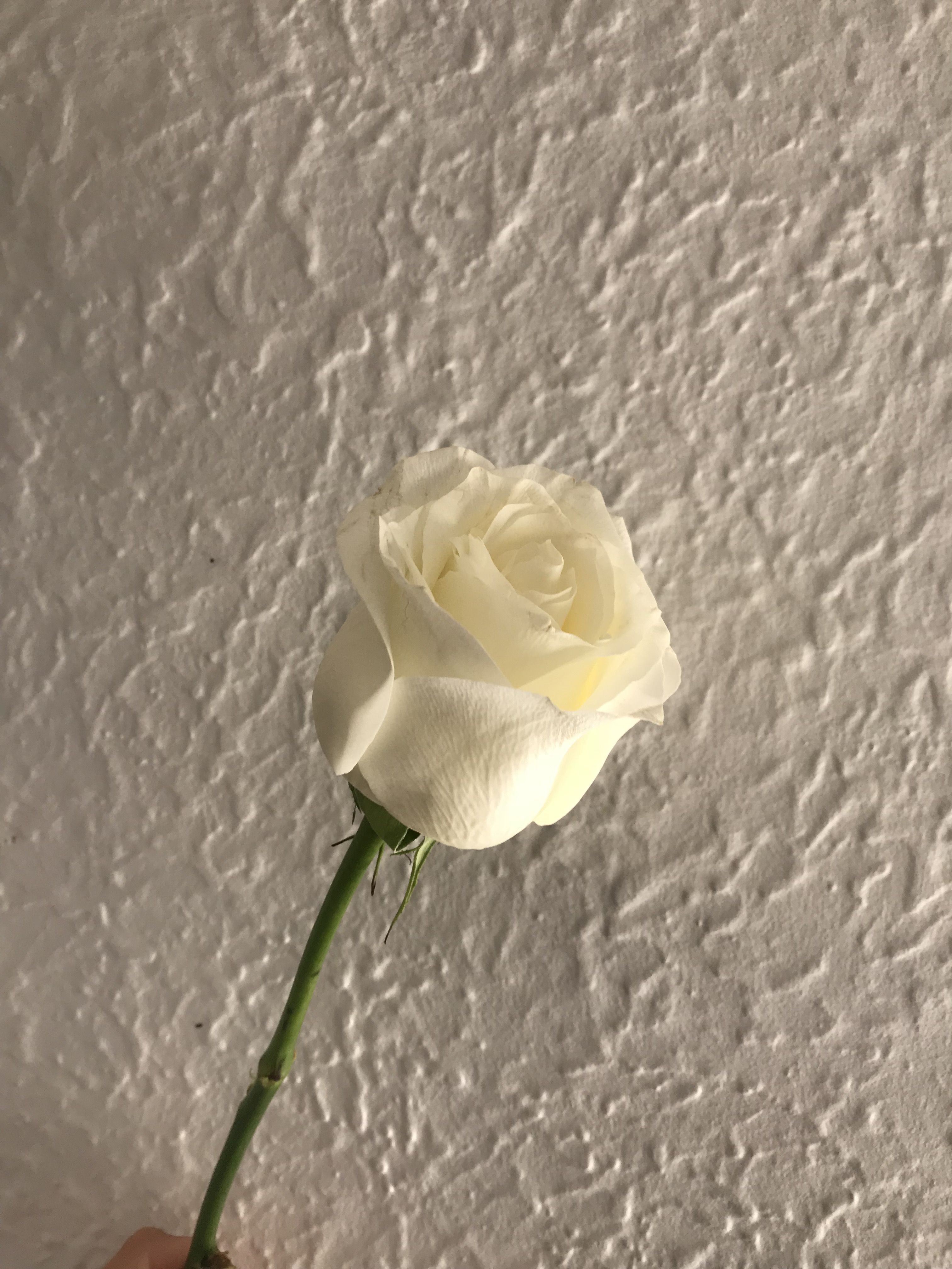 White Rose Dailybunch Dailyblooms Dailyflowers Flowers