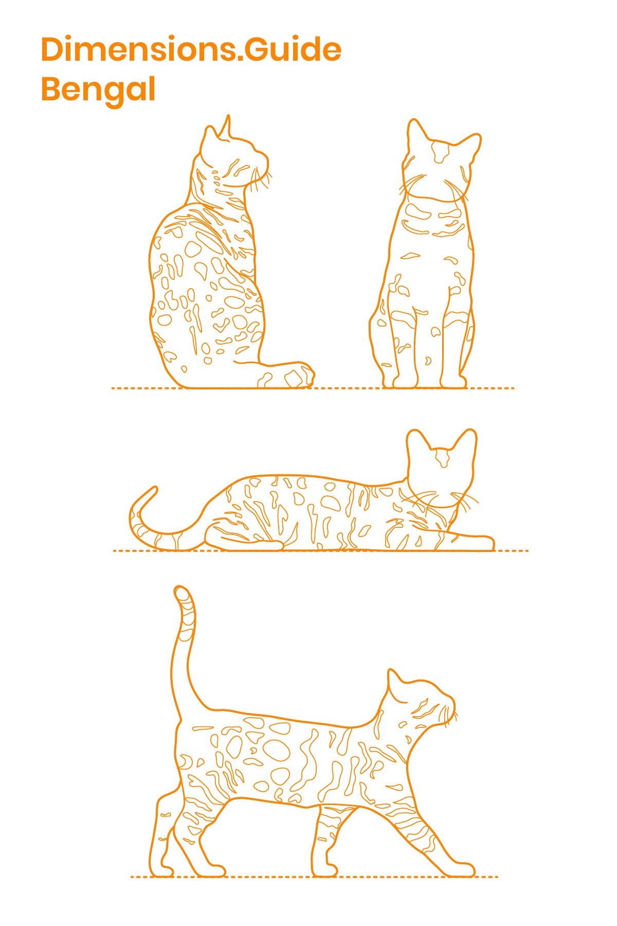 Bengal Cats are an average to largesized hybrid cat breed