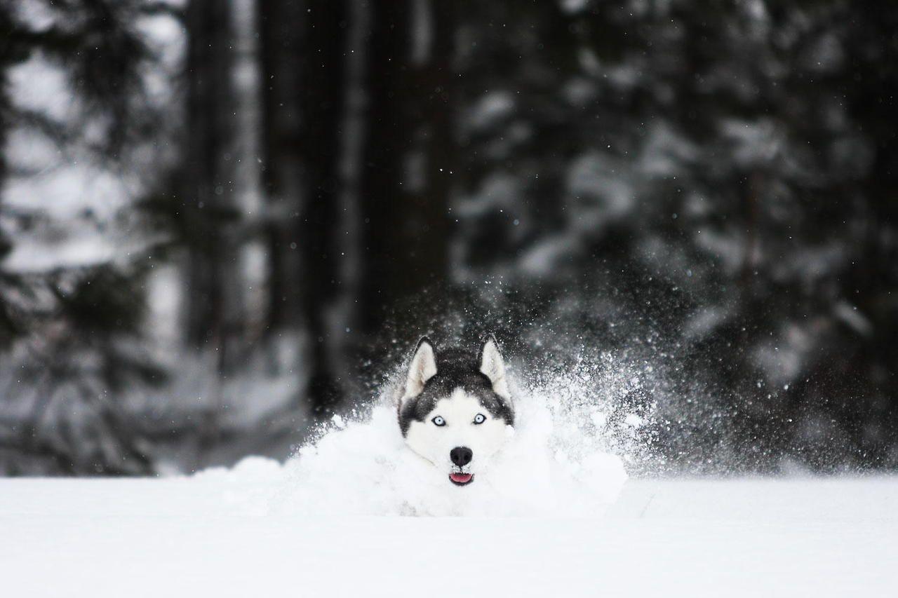 Amazing Shot Of A Beautiful Blue Eyed Siberian Husky Running