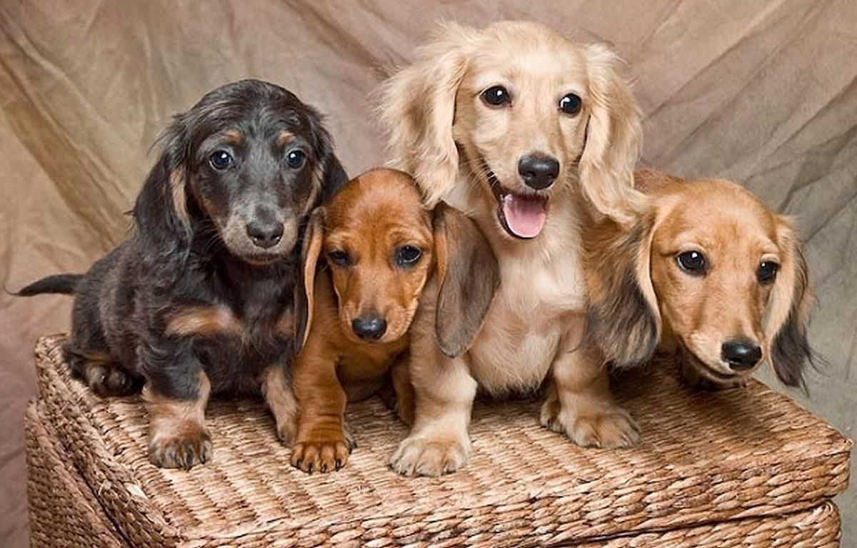 Starlight Dachshund We Raises Our Puppies In Our Home Our