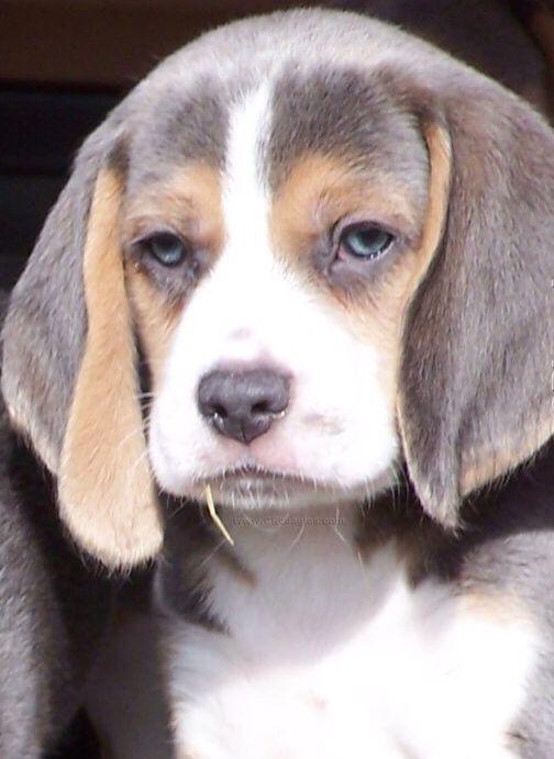 Great Wisconsin Beagle Adorable Dog - 8c20619a4d9eb7ebb9837dbd13b4daa0  Gallery_934735  .jpg