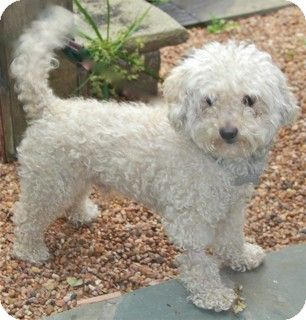 Norwalk Ct Bichon Frise Poodle Miniature Mix Meet Pickering A Dog For Adoption Adoption Pending Still Adoptable Bichon Bichon Frise Mini Poodles