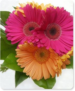 These are all over my flowerbeds....love Gerbera Daisies!