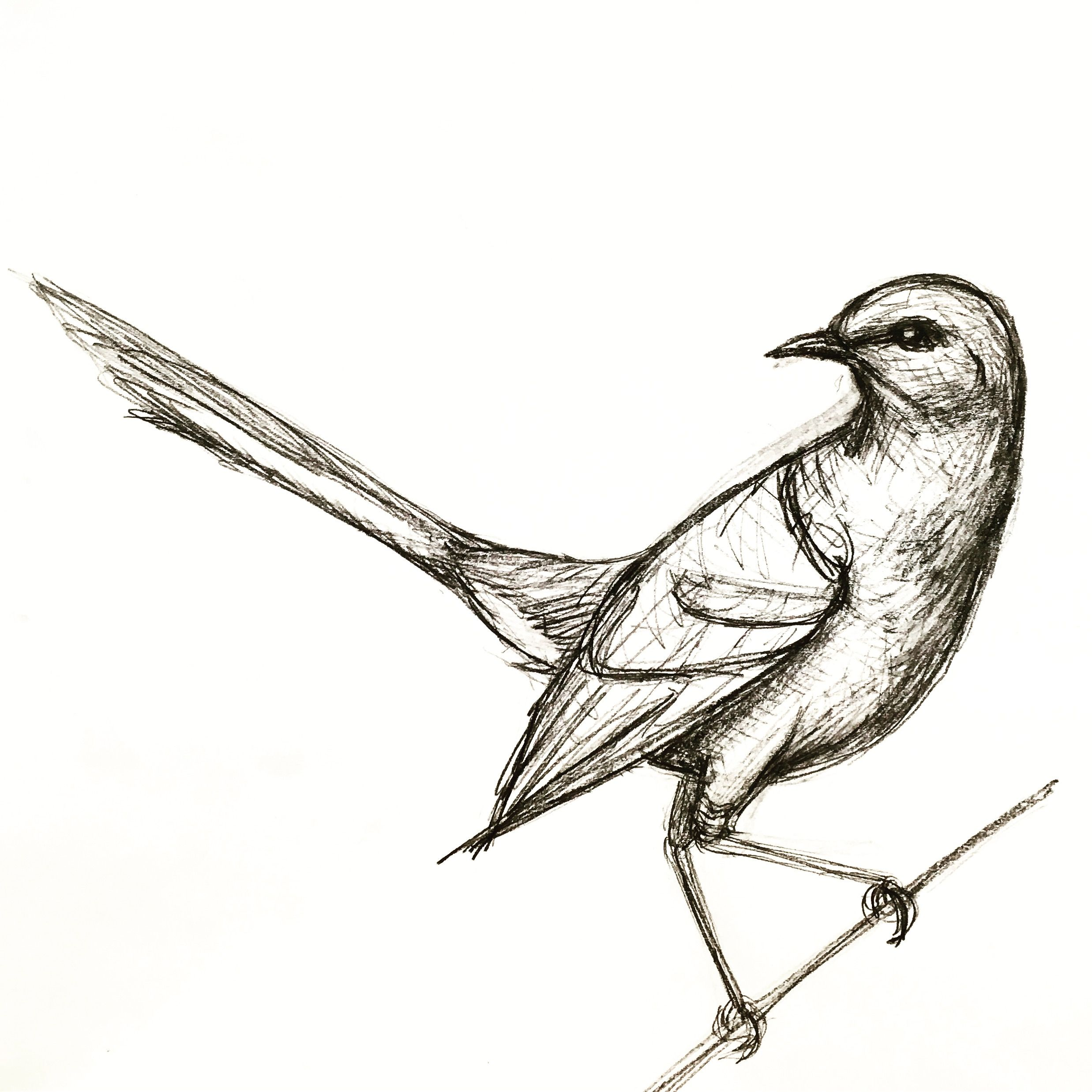 A Quick Mockingbird Drawing