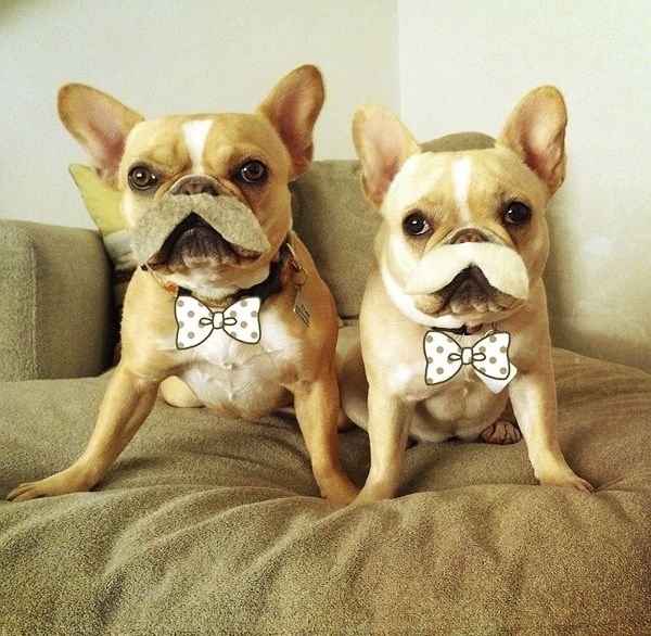 Moustached French Bulldogs Best Friends Pets Happy Animals Animal Lover