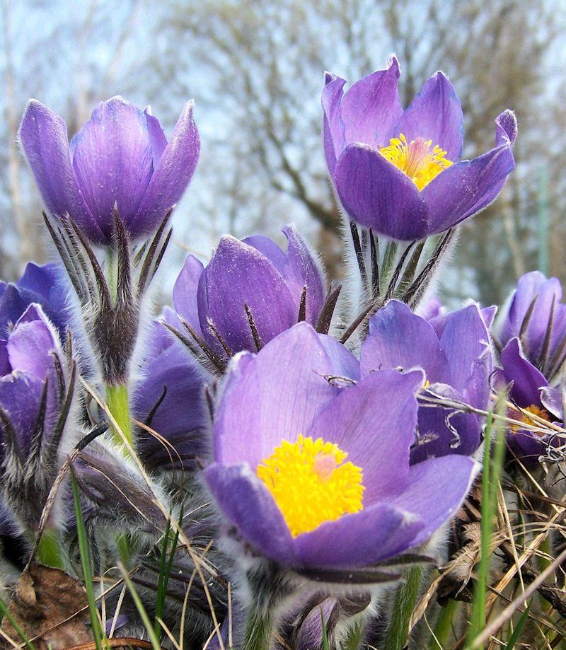 SouthDakota State Flower So Beautiful! Pasque South