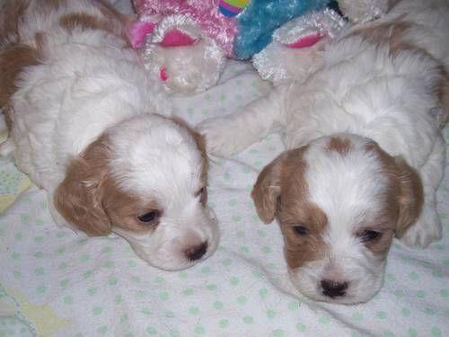 Cavachon 600 Scurry Tx Cavachon Puppies Cavachon Puppies
