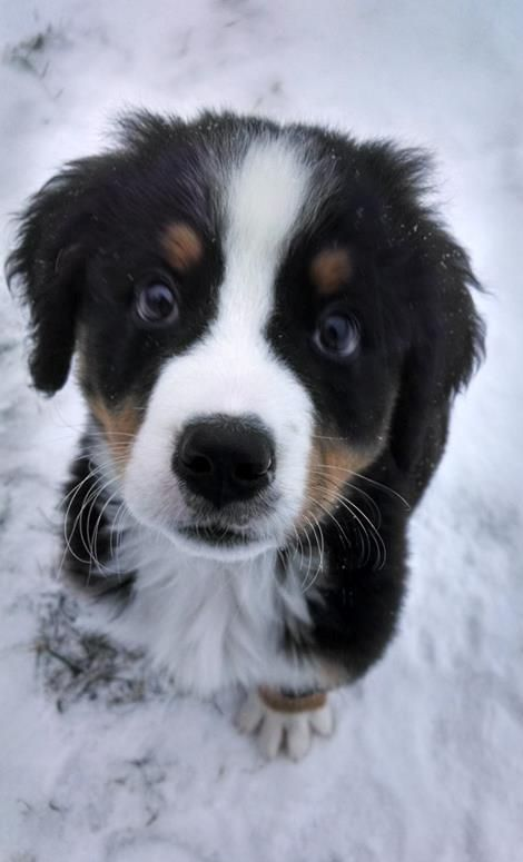 Bernese Mountain Puppy Outside In The Winter Not Sure He
