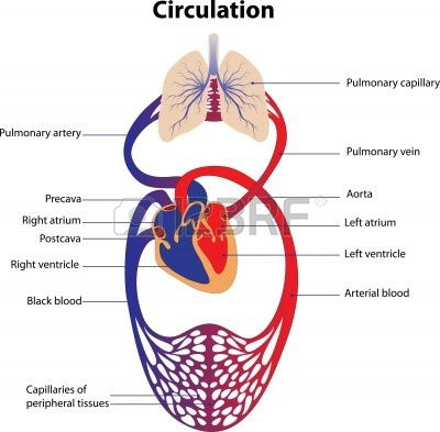 Schematic Representation Of The Human Circulatory System The Human