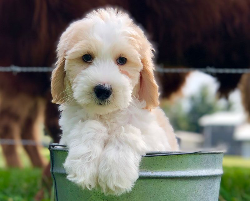 Available Goldendoodle Puppies From Moss Creek Goldendoodles In Florida English Goldendoodle Puppies English Goldendoodle Goldendoodle Puppy Goldendoodle