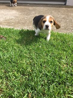 Gumtree Dogs And Puppies Beagle Puppy Puppies For Sale