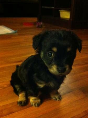 I Have A 10 Week Old Yorkie Pomeranian Mix Puppy We Recently Bought Her As A Sister For Our Dog Bu Yorkie Pomeranian Mix Pomeranian Mix Puppies Pomeranian Mix