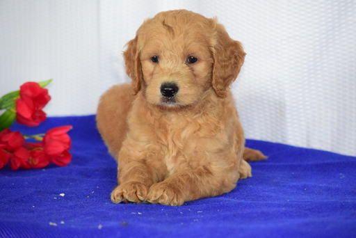 Litter Of 4 Goldendoodle Puppies For Sale In Sugarcreek Oh Adn 34709 On Puppyfinder Com Gender Mal Goldendoodle Puppy For Sale Puppies For Sale Goldendoodle