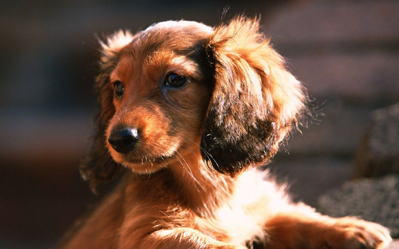Life is beautiful woofers pinterest dog animal and dachshunds