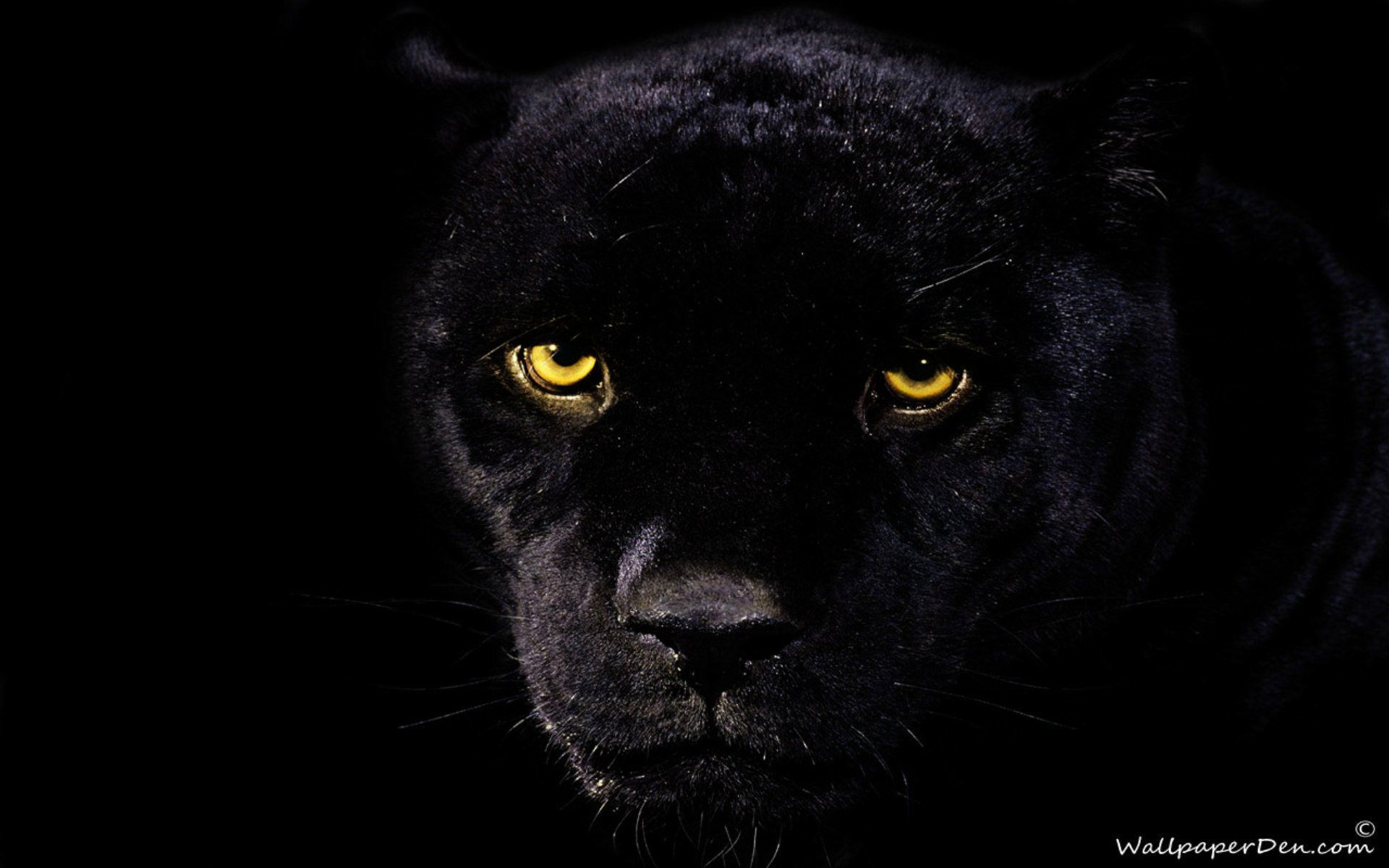 Black Jaguar Wallpapers Wallpaper Cave Black panther