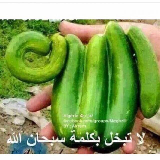 Holyland cucumber