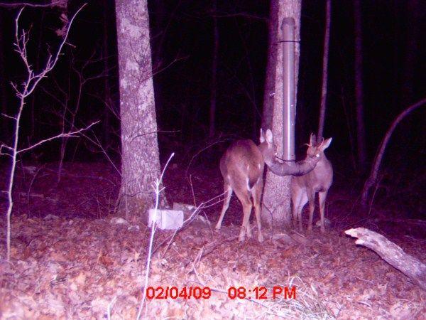 PVC Pipe Deer Feeder. Works Great.