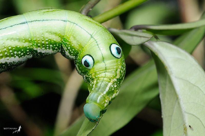 Timeline Photos Caterpillars of the World Sphinx moth