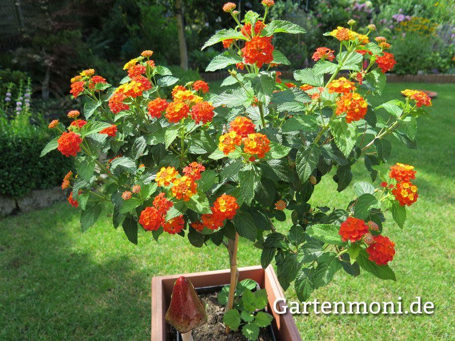 Wandelroschen Uberwintern Schneiden Pflegen Vermehren Wandelroschen Pflanzen Rosen Pflanzen