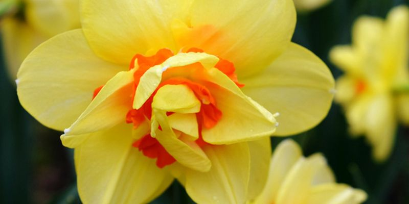 14 Facts Every Daffodil Lover Needs To Know Daffodils Flowers Daffodil Bulbs