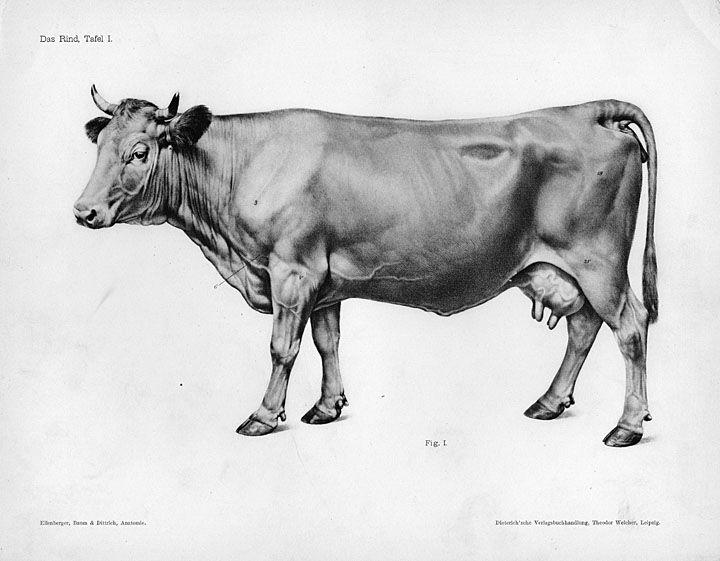 Horse Anatomy By Herman Dittrich Hind Legs: Cow Anatomy By Herman Dittrich