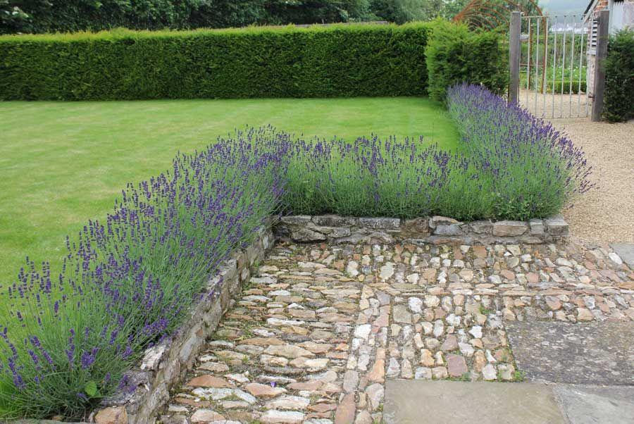 Lavender Pod Easy Edible Gardening Lavandula Dwarf Munstead