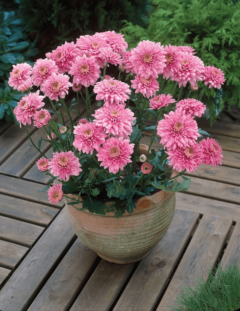 Chrysanthemum Flower In Pot House Plant Chrysanthemum Plant Planting Flowers Chrysanthemum Flower