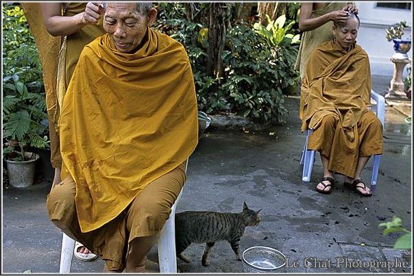 rasage de bonzes Thaïlandais et d'un chat tigré