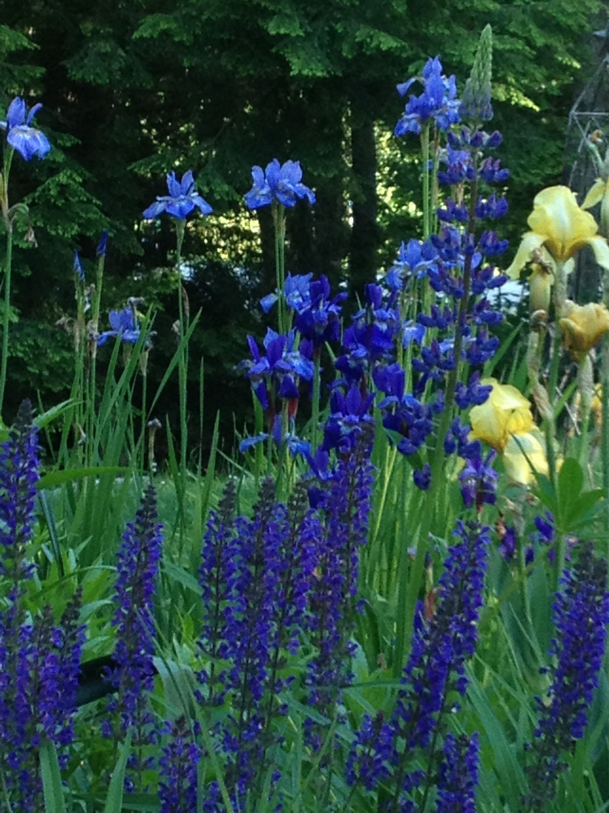 Iris flower bed flowers landscaping ideas pinterest iris iris flower bed izmirmasajfo