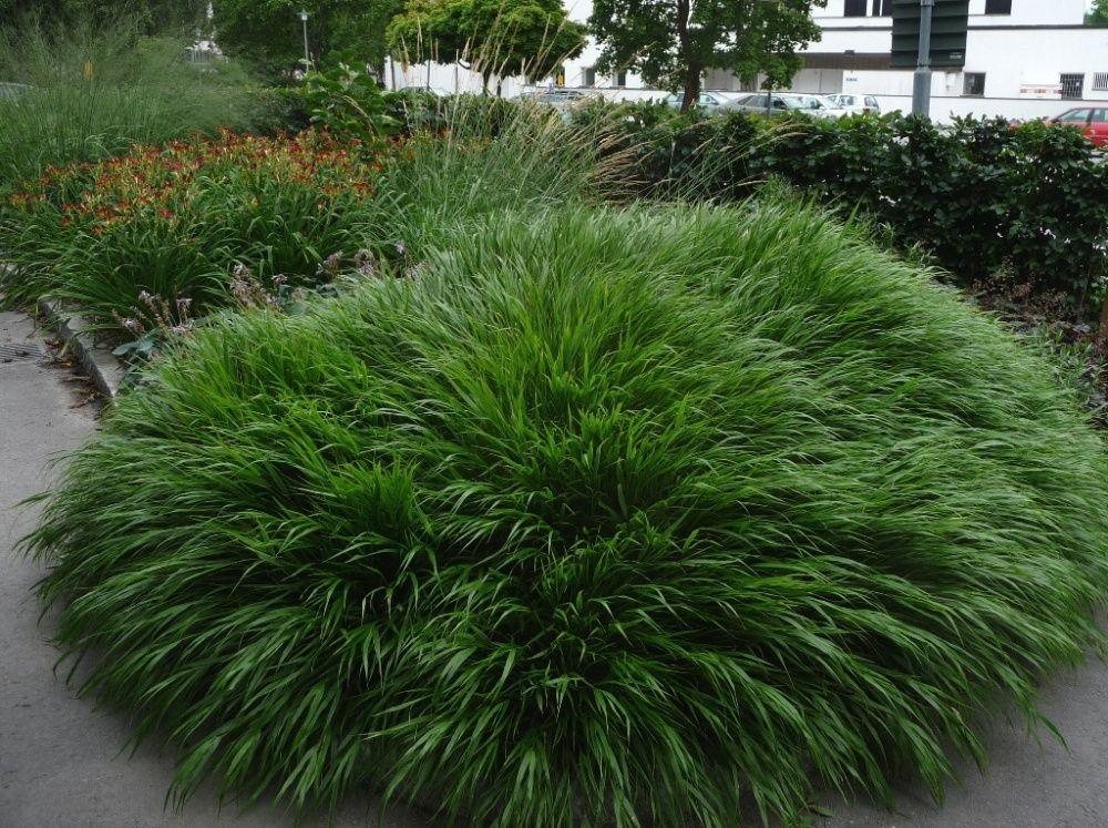 Hakonegräs