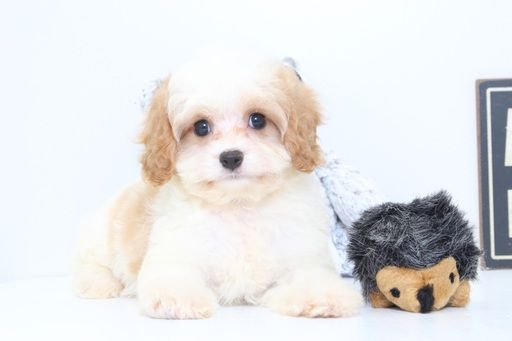 Cavapoo puppy for sale in NAPLES, FL. ADN48086 on