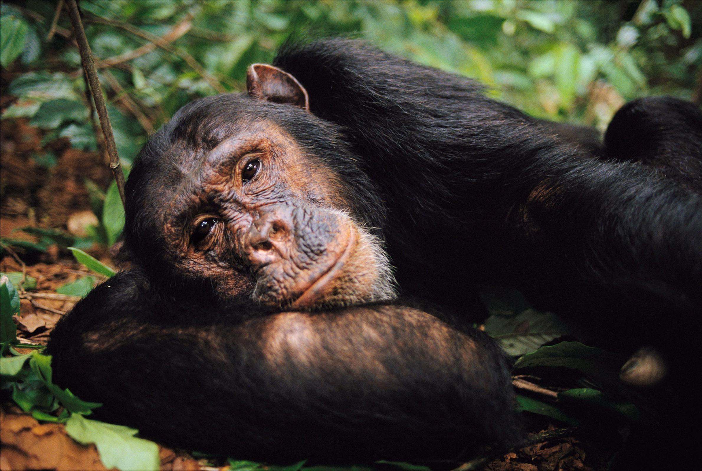 Why Chimps Are Disappearing and How to Save Them   Chimp ...