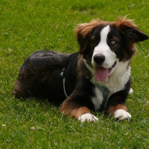 404 Not Found Hunde Australian Shepherd Tiere