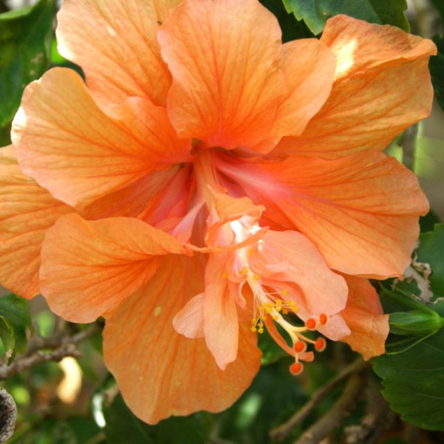Hibiscus Double Orange The Bright Peach Color Of This Double